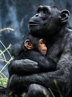 hug3 chimps